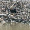 CRESTED CARACARA<br /> Dairy Mart Ponds, San Ysidro, CA.