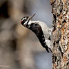 Male Hairy Woodpecker<br /> Paso Picacho Campground