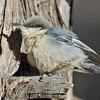 Pygmy Nuthatch<br /> Paso Picacho Campground