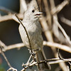 Oak Titmouse<br /> Paso Picacho Campground