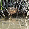 Ridgway's Rail<br /> Famosa Slough north side, north of W. Pt Loma Bl