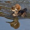 Juvenile male Hooded Merganser<br /> Famosa Slough north side, north of W. Pt Loma Bl