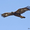 Juvenile Golden Eagle<br /> South of the sod farm - Dairy Mart Rd