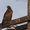 Golden Eagle<br /> Sod farm - Dairy Mart Rd