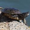 Unknown turtle species
