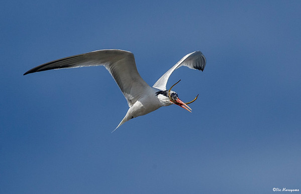 ELEGANT TERN WITH A PIPE FISH