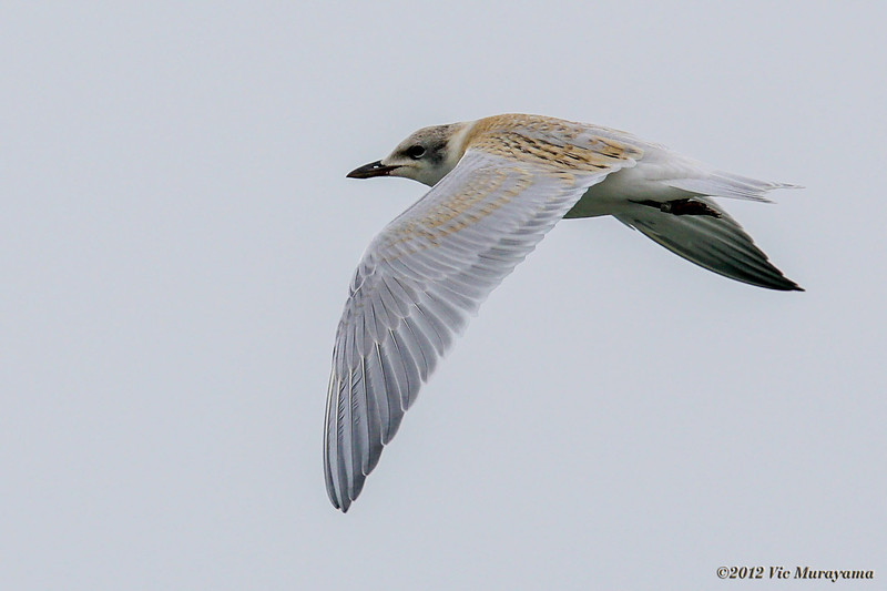 JUVENILE GULL-BILLED TERN
