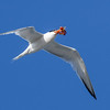 ELEGANT TERN<br /> with an octopus for breakfast.