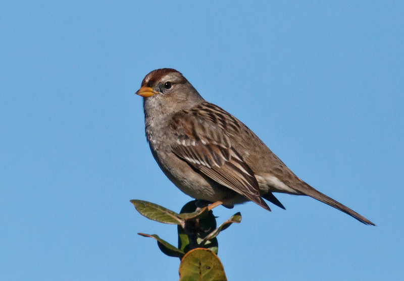 WHITE-CROWNED SPARROW<br /> juvenile