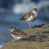 SPOTTED SANDPIPERS