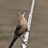 GREAT-TAILED GRACKLE<br /> female