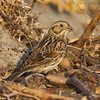 LAPLAND LONGSPUR : Within the Tijuana Estuary near the mouth of the Tijuana River.