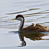 Western Grebe with young.