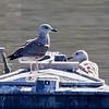 Lesser Black-backed Gull, ist winter