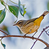 Palm Warbler<br /> Lower Otay Lakes, Chula Vista