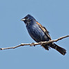 Blue Grosbeak, male