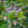 HUTTON'S VIREO NEST WITH 3 CHICKS.