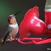 ALLLEN'S HUMMINGBIRD