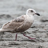 JUVENILE GLAUCOUS-WINGED GULL
