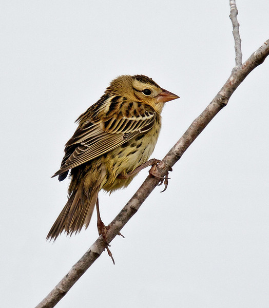 BOBOLINK<br /> Adult in winter plumage.<br /> Liberty Station