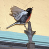 Male Painted Redstart<br /> Dudley St e/o Silvergate Ave