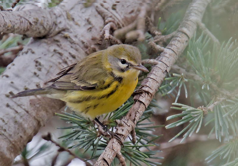 Prairie Warbler, male<br /> Residential area, corner Dudley and Albion