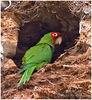 Red-masked Parakeet<br /> Lomaland w/o Catalina