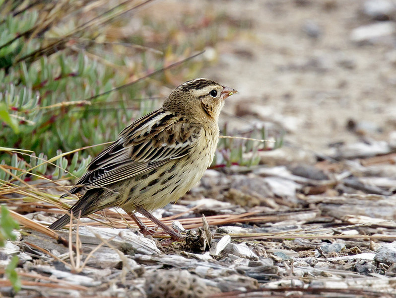 BOBOLINK<br /> Adult in winter plumage.<br /> Liberty Station