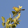 Prairie Warbler, male