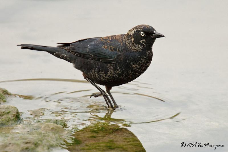 Rusty Blackbird<br /> Feb 23, 2009