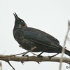 Rusty Blackbird<br /> Feb 23, 2009