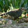 Rusty Blackbird<br /> Dec 28, 2008