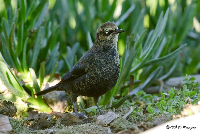 Rusty Blackbird<br /> Dec 28, 2008