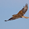 Ferruginous Hawk<br /> Rangeland Road