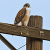 Ferruginous Hawk (light morph)<br /> Pamo Valley