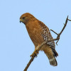 Red-shouldered Hawk<br /> Pamo Valley