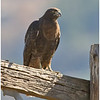 Red-tailed Hawk<br /> Pamo Valley