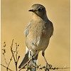Female Mountain Bluebird<br /> Ramona grasslands - Rangeland Rd