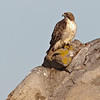 Red-tailed Hawk<br /> Highland Valley Rd
