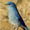 Male Mountain Bluebird<br /> Ramona grasslands - Rangeland Rd