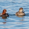 Redhead Ducks, male & female