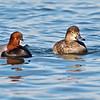 Redhead Ducks, male & female