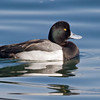 Greater Scaup, male<br /> from Bayview Park, 1st St & I Ave.