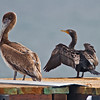Brown Pelican (juvenile) & Double-crested Cormorant