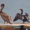 Brown Pelican (juvenile) & Double-crested Cormorant