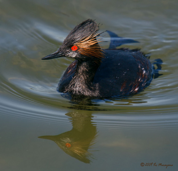 Eared Grebe<br /> Between the ferry landing and public dock.