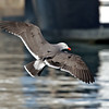 Heermann's Gull<br /> South-side of the ferry landing