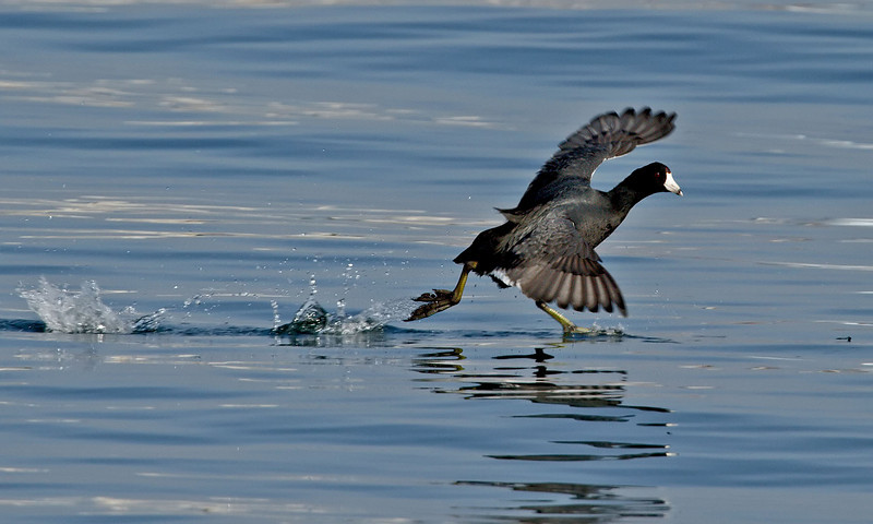 American coot<br /> South-side of the ferry landing