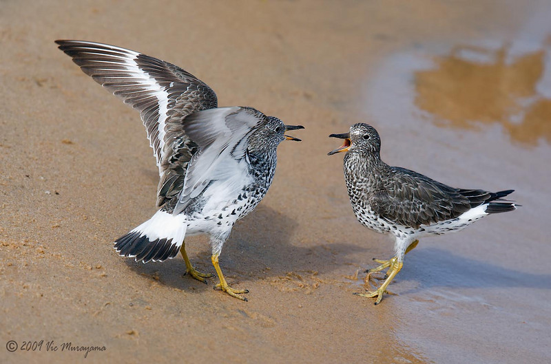 Squabbling Surfbirds<br /> Between ferry landing and public dock