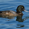 Greater Scaup 1st winter drake<br /> Glorietta Bay